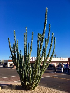 Today's gratuitous cactus shot: Organ Pipe, near The Poisoned Pen